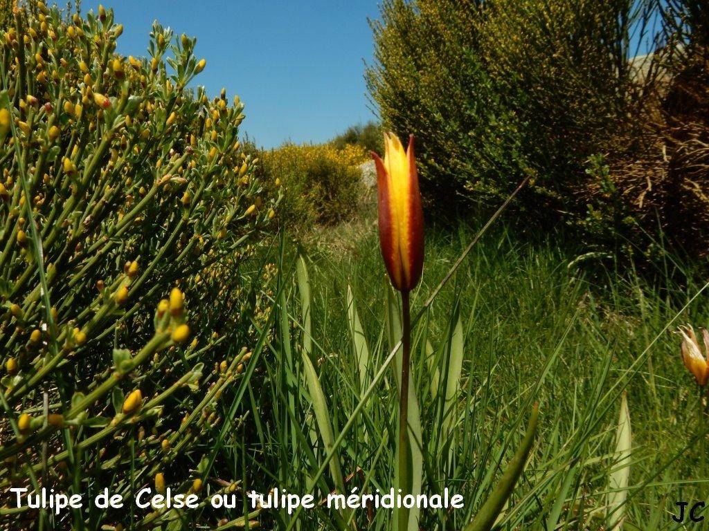 tulipe de Celse