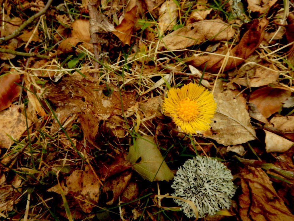 Tussilage et lichen (genre Cladonia)
