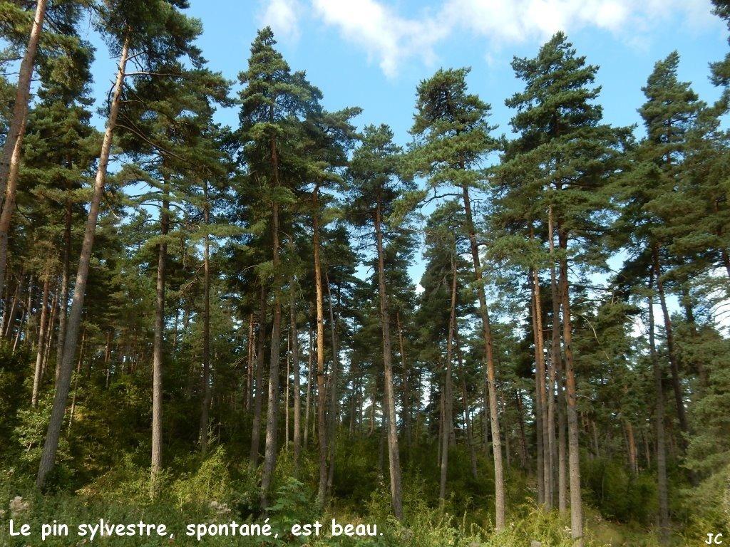 les pins sylvestres