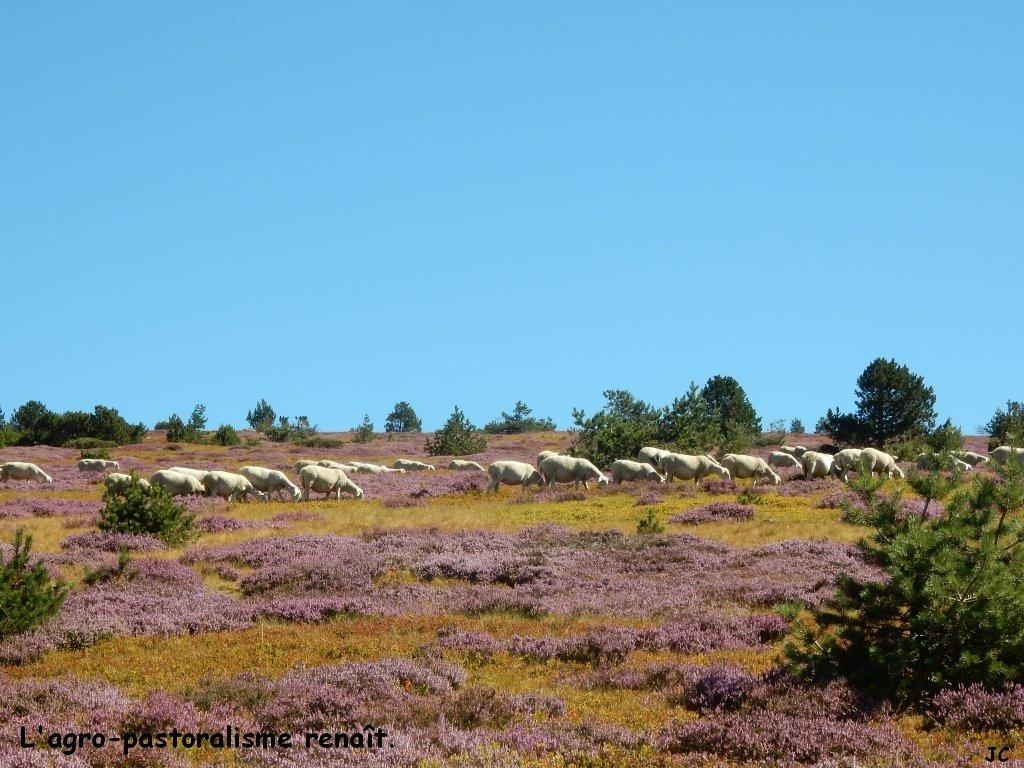 troupeau de brebis au milieu des bruyères